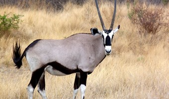 Gemsbok in Etosha National Park