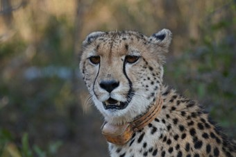Cheetah Karongwe Private Game Reserve