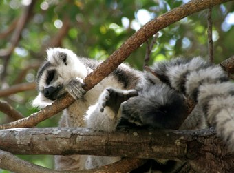 Lemur In Kirindy Reserve