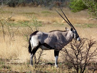 Gemsbok In Samburu Nationa Park