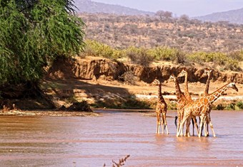 Giraffes In Het Samburu National Park