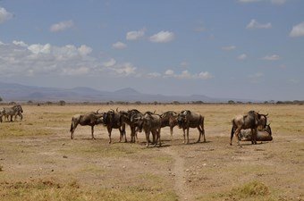 Gnoes In Amboseli National Park