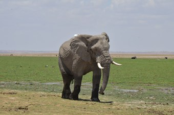 Olifant Bij Amboseli National Park