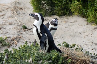 Penquins In Kaapstad